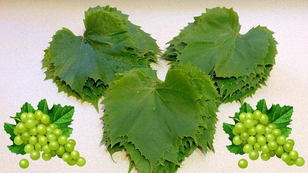 Листья белого сорта винограда